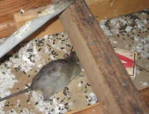 Rodent Control All County Environmental Services